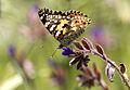 Vanessa cardui - Diken kelebeği 18.jpg