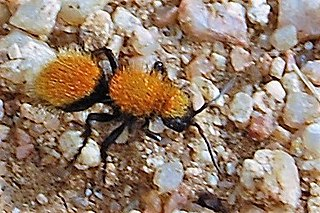 Mutillidae Family of wasps