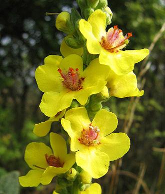 Verbascum - Dark mullein (V. nigrum)