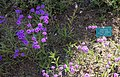 Verbena rigida - Mildred E. Mathias Botanical Garden - University of California, Los Angeles - DSC03019.jpg