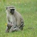 Vervet Monkeys (6608146147).jpg