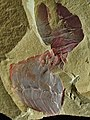 Vetulicola New species1.jpg