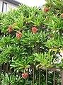 Viburnum odoratissimum var awabuki2.jpg