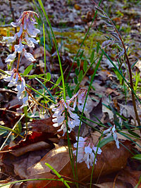 Vicia caroliniana - Wood Vetch.jpg