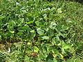Vigna unguiculata habit7 (10736971714).jpg