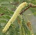 Vilaiti Keekar (Prosopis juliflora) W2 IMG 6935.jpg