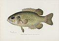 Vintage illustrations by Denton from Game Birds and Fishes of North America digitally enhanced by rawpixel 27.jpg