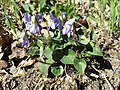 Viola reichenbachiana sl16.jpg