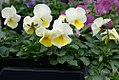Viola tricolor Penny Yellow Frost 0zz.jpg