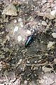 Violet oil beetle - Meloe violaceus - panoramio (2).jpg