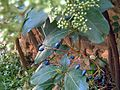 Virburnum tinus fruit.jpg