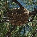 Vireo plumbeus nest.jpg