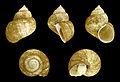 Viviparus cebuensis boholensis 01.JPG