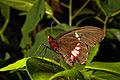 Vlinder (4022441005).jpg