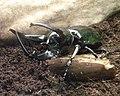 WLA hmns Atlas beetle 2.jpg