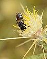 Wainia eremoplana female 1.jpg