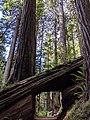 Walk through Coast Redwood in Redwood National Park.jpg