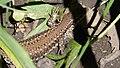 Wall Lizard. Podarsis muralis (32534591372).jpg