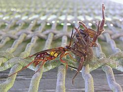 Wasp and spider 03.jpg