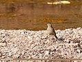 Water Pipit (Anthus spinoletta) (45275201471).jpg