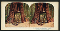Wawona, the Giant Red Wood, Mariposa Grove, California, by A.C. Co..png