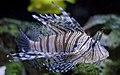 Webysther 20150719173810 - Lionfish.jpg