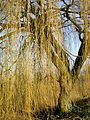 Weeping-willow-263099.jpg