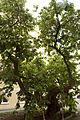 Weißer Maulbeerbaum Landstrasse 0268 2.jpg