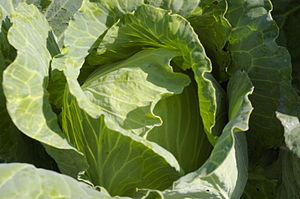 English: green cabbage