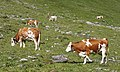Weitental - cattle 4.jpg