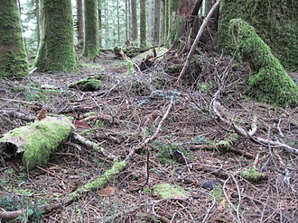 Plant litter - Plant litter, mainly western hemlock, Tsuga heterophylla, in Mount Baker-Snoqualmie National Forest, Washington, United States