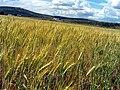 WheatField 2009May24 CampodeCalatrava.jpg