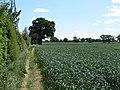 Wheat field, near Tucklands Farm, Gestingthorpe (geograph 4515271).jpg