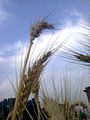 Wheat fields 01.jpg