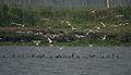 Whiskered Tern (Chlidonias hybridus) & Indian Cormorant (Phalacrocorax fuscicollis) W IMG 3685.jpg