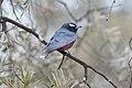 White-browed Woodswallow (Artamus superciliosus) (8079678196).jpg