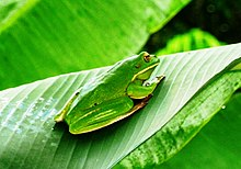 White-lipped tree frog, Cooktown.jpg