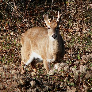 White-tailed Deer-27527-3.jpg