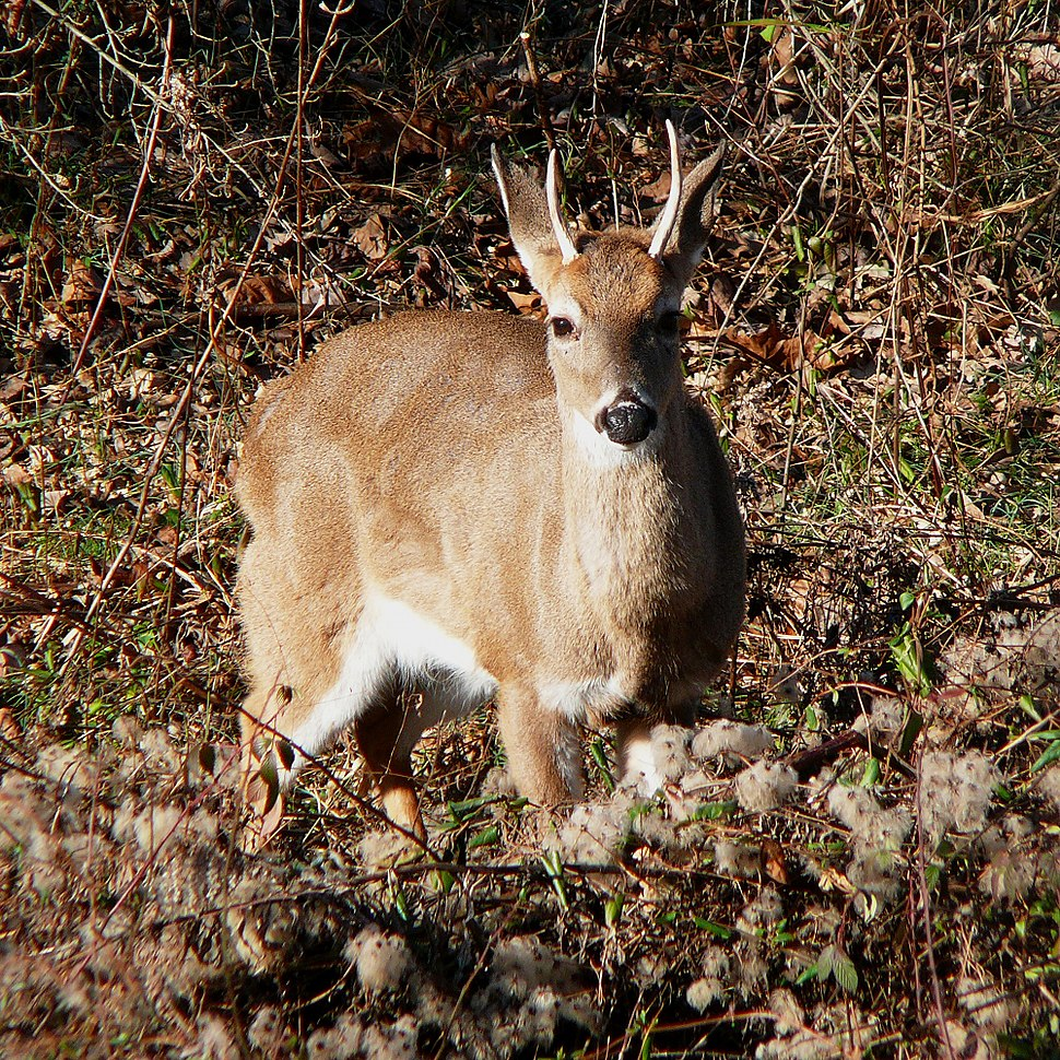 White-tailed Deer-27527-3