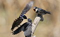 White-throated Swallow, Hirundo albigularis at Marievale Nature Reserve, Gauteng, South Africa. Sequence of two juveniles being fed on the fly by their parents. (15445496957).jpg