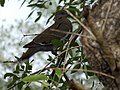 White-winged dove perched on branch 2018 5.jpg
