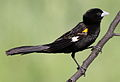 White-winged widowbird, Euplectes albonotatus, male, at Dinokeng Game Reserve, Gauteng-Limpopo, South Africa (16196603069).jpg