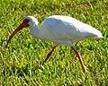 White Ibis, Venice, FL.jpg
