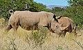 White Rhinoceros (Ceratotherium simum) (6628465185).jpg