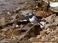 White Wagtail (Motacilla alba) (24940180927).jpg