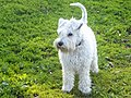 White miniature schnauzer puppy standing from front.jpg