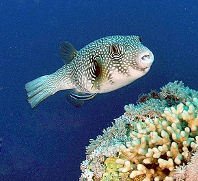 Description de l'image Whitespotted puffer.JPG.