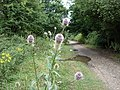 Wild Teasel - Dipsacus fullonum - view north along the disused railway track - geograph.org.uk - 1166266.jpg