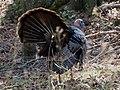 Wild Turkey-27527-3.jpg