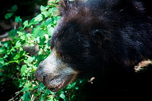 Bannerghatta National Park - wild bear